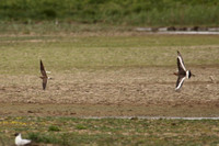 Collared Pratincole and Black-Tailed Godwit, Norfolk