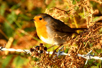 Robin, Scilly