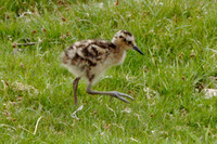 Curlew, chick