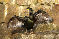 Shag, adult, Cornwall