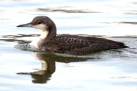 Black-Throated Diver, Cheddar