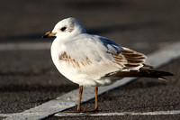 Med Gull, 1st winter, Radipole