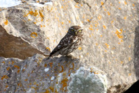 Little Owl, Portland