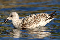 Herring Gull, 1st winter