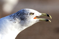 Ring-Billed Gull, adult