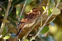 Little Bunting, Scilly