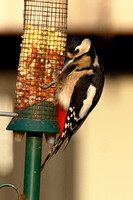 Great Spotted Woodpecker, female